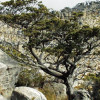 Saving the Clanwilliam Cedar