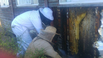 Local Bee keepers take on swarming bees