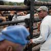 Jeffrey's Bay Wind Farm assists emerging cattle farmers